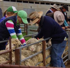 crop classing sheep
