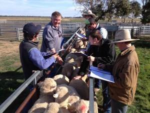 Hay-inc-rural-education-sheep