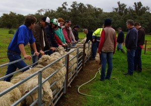 Sheep selection and Classing June 2016