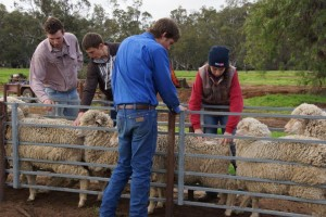 sheep assessment