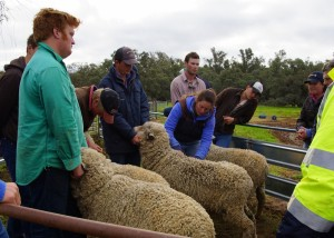 sheep clasing training