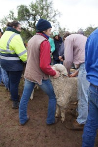 sheep classing training